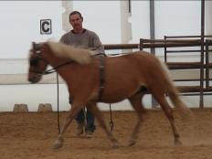Starting pony for driving / riding